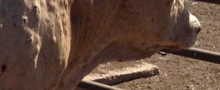 Bolest kvrgave kože kod goveda