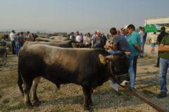 43. Regionalna izložba stoke