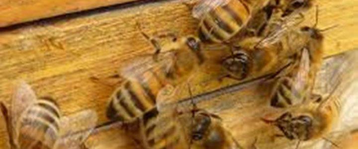 Gatački pčelari na nuli