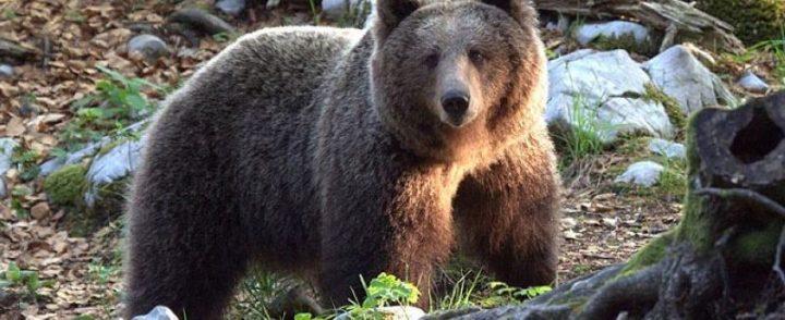 Medvjedi sve bliže naseljima